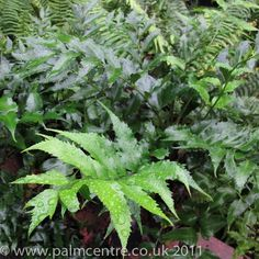 ...  often seen offered for sale as a houseplant, due to its tolerance of neglect and dry atmosphere, Japanese Holly Fern is completely hardy. Description from palmcentre.co.uk. I searched for this on bing.com/images