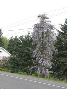 Wisteria growing up telephone pole