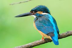 In Green ! , Kingfisher by Mubi.A