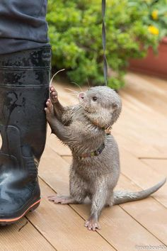 Sweet Cars 309904018107861520 - What's with the rubber feet? And then ya killer lmfto Source by mariecuoc Baby Otters, Otters Cute, Cute Funny Animals, Cute Baby Animals, Funny Cute, Animals And Pets, Wild Animals, Otter Love, Tier Fotos