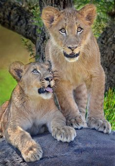 Twins piqued - Lion cubs Ken and Dixie are rarely apart at the San Diego Zoo Safari Park.