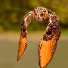 Love birds of prey. So amazing Beautiful Owl, Animals Beautiful, Cute Animals, Funny Animals, Photo Animaliere, Owl Pictures, Owl Photos, Great Pictures, Great Horned Owl