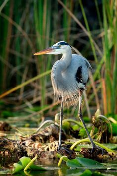 A Great Blue Heron along the Dead River in Tavares, Florida.
