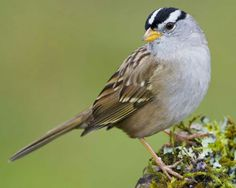 The smart black-and-whitehead, pale beak, and crisp gray breast combine for a dashing look – and make it one of the surestsparrowidentifications in North America. ... TheWhite-crowned Sparrowis a largesparrowwith a small bill and a long tail.