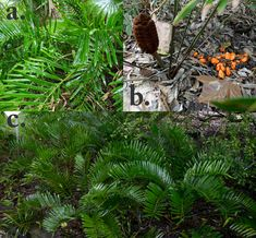 Florida Native Plants Nursery Coontie ground cover.  I need shade growing plants