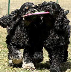 """The one on the left with the brown paws looks like my jake """"i have it, let it go, now stop!"""" #dogs #pets #CockerSpaniels Facebook.com/sodoggonefunny"""