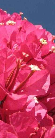 Bougainvillea ... de estas hay en mi casa a.m.