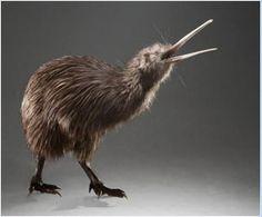 North Island Brown Kiwi Apteryx mantelli - Google Search