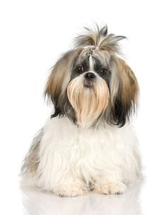 I got A Shih Tzu! Can We Guess What Kind Of Dog You Have?