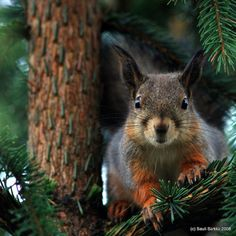 "cuiledhwenofthegreenforest: ""Squirrel: hello. by Sauli Särkkä on Flickr """