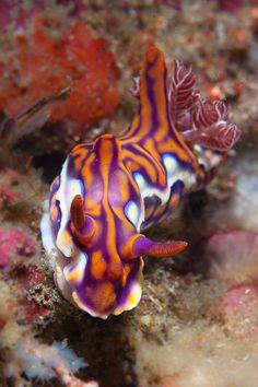 Nudibranch crawling on coral ~ By Soren Egeberg