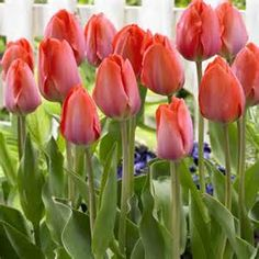 Gigantic orange flowers on sturdy stems. Height Flowers April/May. Shade Flowers, Bulb Flowers, Tulips Flowers, Exotic Flowers, Orange Flowers, Daffodils, Fresh Flowers, Spring Flowers, Spring Flowering Bulbs