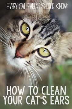 If your cat is anything like mine, his cat's ears can pick up the sound of a bag of treats being opened from across the house! Ear care is one of the most overlooked areas of cat health. Here's how to check your cat's amazing ears for signs of problems, and how to keep them clean and healthy.