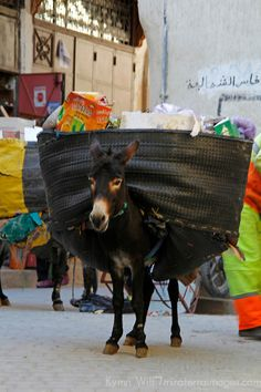 Africa, Morocco, Fes. Donkey with load in Fes - this is how the garbage is collecgted in the narrow alleyways of the old medina.