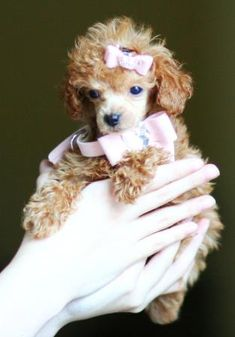 I need another! kopper needs a friend! Teacup Poodle Puppies