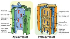 plant structure xylem and phloem - Google Search