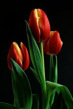 What is TULIP what blossom and photos Tulips Garden, Tulips Flowers, Exotic Flowers, Orange Flowers, Pretty Flowers, Beautiful Flowers Wallpapers, Beautiful Gif, Flowers Black Background, Happy Birthday Flower