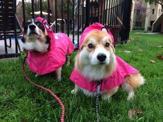 Corgis in the rain.