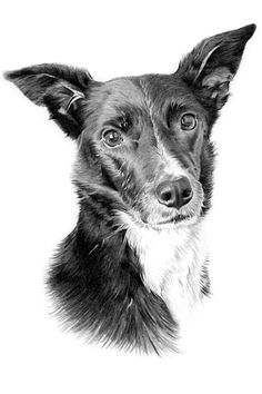 Hand drawn pencil drawing of a dog drawn from a photograph. Pencil Portrait Drawing, Pencil Drawings, Photo Online, Hand Drawn, Husky, Moose Art, How To Draw Hands, Photograph, Portraits