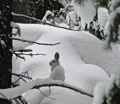 A beautiful Snowshoe Hare in the BC interior