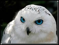 The beauty of my Spirit Guide the Snow owl
