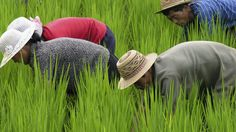 Some interesting food for thought... Rice Theory: Why Eastern Cultures Are More Cooperative