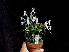 Neofinetia falcata var. Kinkujaku Golden Star, Plants, Plant, Planets