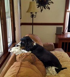 """Springer Spaniel - """"Dear God, please let it cool down, so I can go out for my walk. AMEN."""" ❤️"""