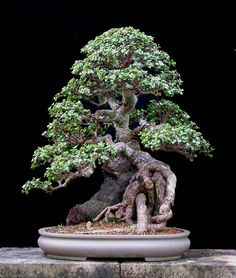 Portulacaria afra is easy to develop as a jade bonsai, much easier than the larger leaf jade-Crassula argentea.