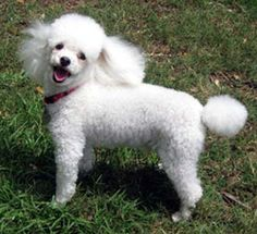 So much respect for people who adopt a senior dog and give them a forever home. Florida Poodle Rescue