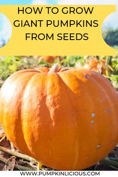 How to grow giant pumpkins from seeds helps you create a huge pumpkin!