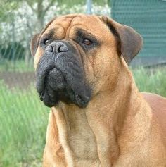 Bullmastiff - yahoo Image Search Results