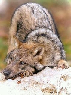 Don't you just want to give this wolf a hug!