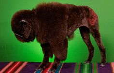 Bizarre Dog haircuts  - Buffalo