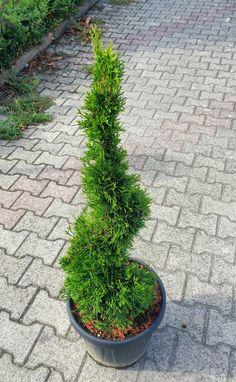 thuja occidentalis smaragd a spirale vendita piante online comprapiante by piante frosini. Black Bedroom Furniture Sets. Home Design Ideas