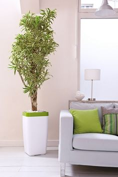 feng shui pflanzen dracaena reflexa gerandeter drachenbaum