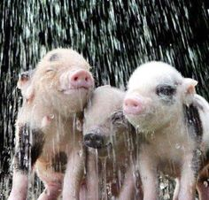 Baby pigs are so cute! Cute Creatures, Beautiful Creatures, Animals Beautiful, Teacup Pigs, Mini Pigs, Baby Pigs, Cute Pigs, Mundo Animal, Little Pigs