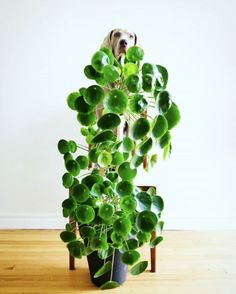 Chinese Money Plant - Pass It On Plant - Pilea peperomioides Outdoor Plants, Air Plants, Potted Plants, Garden Plants, Plants Indoor, Foliage Plants, Succulent Plants, Indoor Gardening, Indoor Herbs
