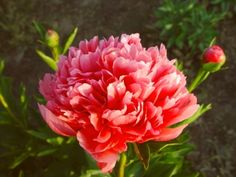 Lorelei   Originator: (Hollingsworth 1996)   [Herbaceous Hybrid]  Bloom period: Early Midseason to Midseason  Flower form: Bomb