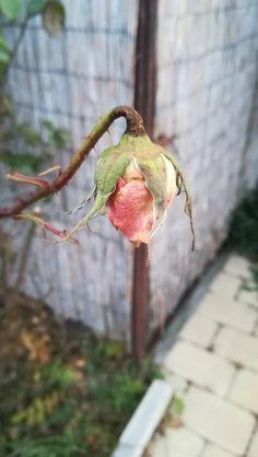 Rose in autmn