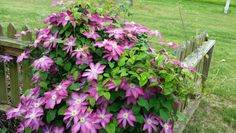 Clematis at the gate.