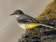Superb Nature - superbnature: Grey Wagtail by chaz jackson. Grey Wagtail, Golden Plover, Garden Birds, Oceans, Beautiful Birds, Rivers, Britain, Art Projects