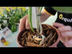 Dica de replante de Orquídeas mantida em segredo até hoje - YouTube Orchids, Ethnic Recipes, Youtube, Gardening, Potted Herb Gardens, Replant, Fairies Garden, Compost, Herbs