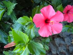 Hawaiin Hibiscus by Laura Costa