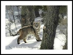 Backyard Bobcat! This was one of two bobcats that came strolling into my yard earlier this year.