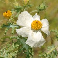 White Prickly Poppy Product Detail at Native American Seed