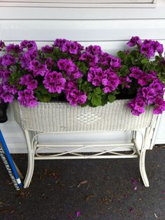 Love my Martha Washington Geraniums