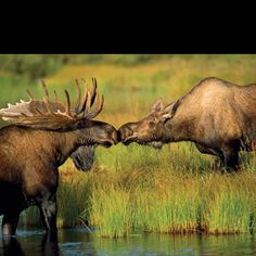 My love of the ugly moose is going to show here :-)