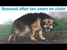 Dog Mistreated and Chained In Yard For 10 Years. Then She Finally Got A Real Family! - Page 2 of 2 - Wagging Tail Dog Rescue