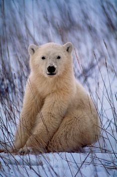 Bear Cub - Wapusk National Park, Manitoba, Canada